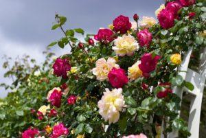 Подкормки дрожжами ускоряют наступление фазы цветения роз в регионах с коротким летом.