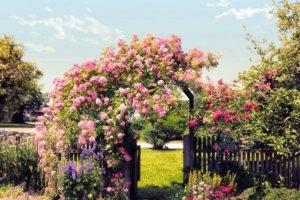 Калимагнезия хорошо сказывается на состоянии роз, выращиваемых на «голодных» песчаных, супесчаных, подзолистых почвах.