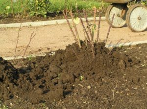 Землю для окучивания приносят под розы из другого места, а не нагребают из-под куста.