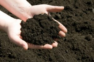 Почва для контейнерных роз должна быть рыхлой и плодородной.