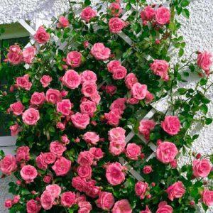 Плетистая роза «Лавиния», близка к «Ютерсен» окраской цветения.
