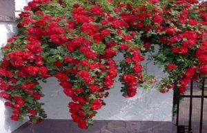 «Фламентанц» в на фоне светлой стены дома, увеличивает яркость окраски.