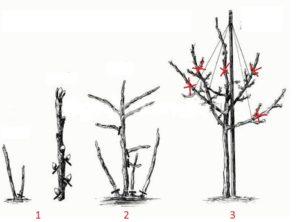Формирование штамба шиповника:  1 – удаление поросли и почек ниже заложенной кроны,  2 – обрезка боковых побегов,  3 – укорачивание кроны на штамбе.