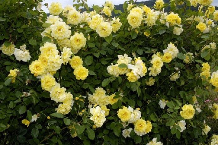Сорт плетистой розы «Голден Гайт» (Golden Gate)