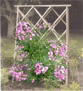 Розы светолюбивые растения, потому для них лучше использовать наклонные шпалеры, чтобы верхняя часть куста не затеняла нижнюю сторону. Тогда цветки располагаются по всей вертикальной поверхности. Интересно выглядит опора в виде буквы «А», у которой розы высаживают с двух сторон.