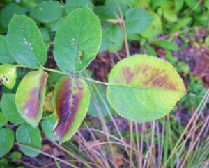 Недостаток элементов питания отражается не только на листьях, но негативно влияет на цветение роз