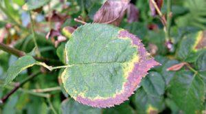 Когда розам не хватает калия, на краях листьев образуется красно-бурая полоса.