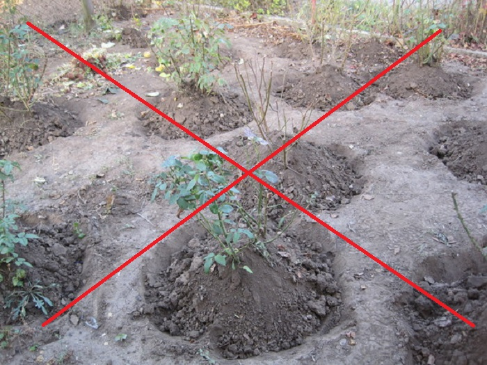 Если оставить ямки вокруг кустов, в них будет накапливаться влага и корни замерзнут. При правильном укрытии конус земли возвышается над уровнем грунта в розарии.