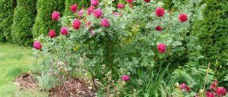 Подбирая место для роз, нужно следить, чтобы ветрозащитные насаждения не притеняли их