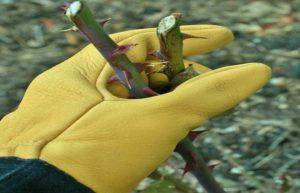 Для ухода за розами с острыми шипами лучше использовать специальные садовые перчатки, например, «Gold-leaf-Tough-touch». Название в буквальном переводе – «золотой лист – жесткое касание». Благодаря специально обработанной оленьей коже, из которой изготовлены перчатки и длинным манжетам, обеспечивается надежная защита рук от повреждений.