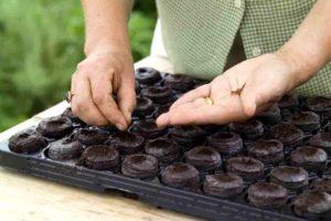 Преимущество посева в кассеты и в торфяные таблетки в том, что не нужно проводить пикировку. Если в таблетках или в ячейках семена не проросли, их можно пересеять.