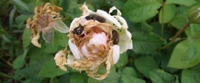 Садовые хрущики не могут навредить настолько сильно, чтобы роза пропала окончательно, но существенно портят декоративность листьев и цветков.