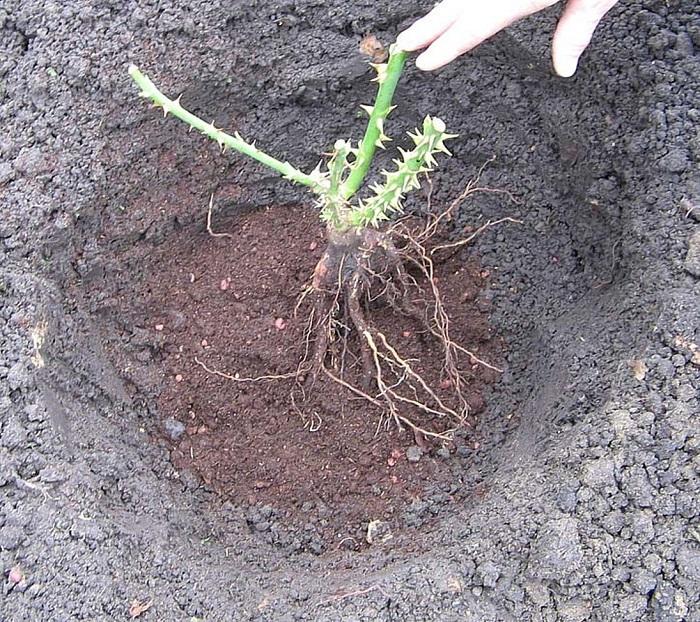 Корни саженца свободно располагаются в яме во всю ширину.