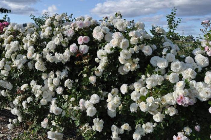 В Европе необычайно популярны живые изгороди средней высоты из коллекции роз.В. Кордеса. (На фото сорт «Аляска»).