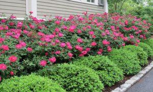 На первый план перед розами часто высаживают самшит вечнозеленый. Этот старый прием не утрачивает своей популярности несколько столетий подряд. Летом первенство принадлежит цветущим розам, а зимой самшиту.