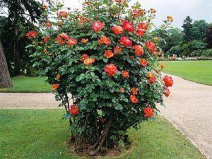 Солитер – одиночный куст розы, крупного размера.