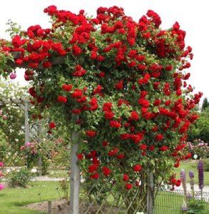 Сорт «Амадеус», как и все плетистые розы, выращивают на высоких и прочных опорах.Лучшие сорта роз для Подмосковья