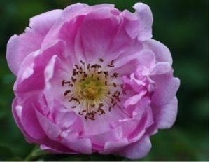 Роза «Poppius» не обмерзает даже в самые сильные морозы.