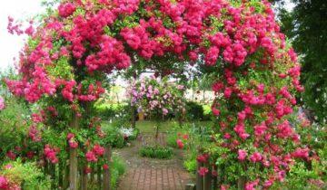 Плетистые розы постоянного цветения