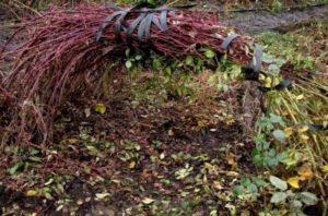 Перед укрытием плети нужно закрепить в таком положении, чтобы они не сломались.