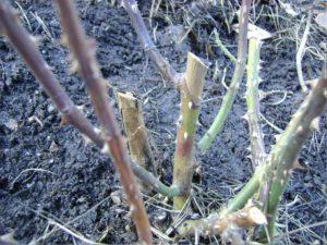 Весной, после того, как розы раскрыты от укрывного материала, нужно срезать, пораженные побеги до живой ткани. Срезы обработать антисептиком, например, марганцовкой.