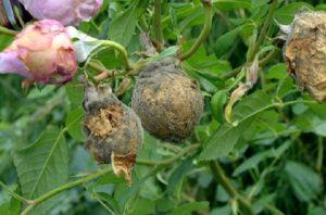 Серая гниль стремительно распространяется на бутонах роз, часто не позволяя им распуститься.