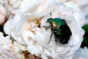 Жук бронзовка приносит огромный ущерб цветению розы «Эльф», вредителей привлекает своеобразный аромат.