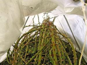 Над пригнутыми стеблями сооружают каркас для создания воздушной прослойки между растением и утеплителем.