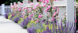 Плетистая роза Пьер