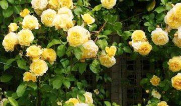 Сорт розы Казино (Casino): описание и выращивание