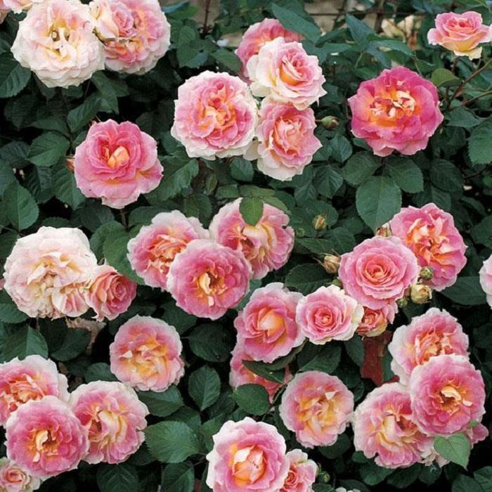 Наибольшую декоративность роза Cesar демонстрирует в конце июня и начале июля.