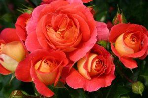.Ряд сортов в полутени демонстрирует большую стойкость цветка, чем на солнце.