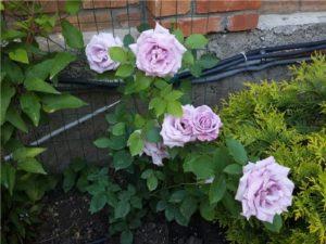 В хороших условиях роза Indigoletta способна зацвести уже в первый год после посадки.