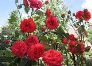 Для поддержания непрерывного цветения отцветшие цветки регулярно обрезаются.
