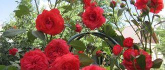 Плетистая роза Салита (Salita): описание и отзывы