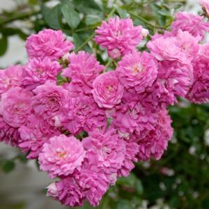 Важное мероприятие по уходу за розами Дороти – удаление отцветающих соцветий. Эта процедура стимулирует дальнейшее цветение.