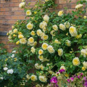 Для успешного вызревания плетей и их лучшей сохранности зимой, розы Остина нуждаются в регулярном калийном питании.
