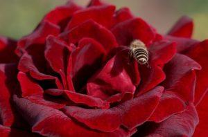 Ограничение лёта пчёл после обработки розария химическими инсектицидами – 2-3 суток.