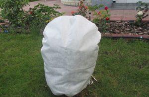 В средней полосе России роза Michka может зимовать под простым укрытием из нетканого материала.