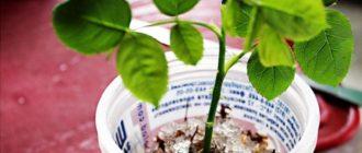 Черенкование роз в гидрогеле: пошаговая инструкция
