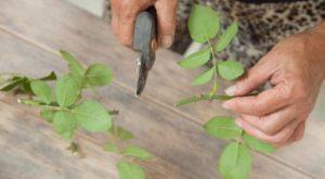 Если на побегах, с которых берутся черенки, сохранились листья, их нужно срезать.