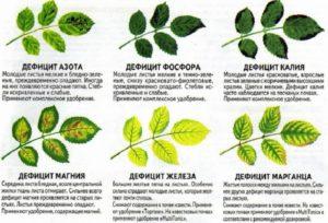 Организация сбалансированных подкормок роз поможет избежать пожелтения листьев