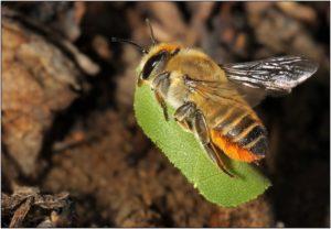 В некоторых регионах листорезов искусственно разводят, чтобы сохранить исчезающие популяции.