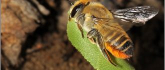 Пчёлы-листорезы на розах: описание и способы защиты растений