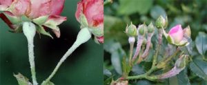 Опрыскивать фунгицидами цветущие розы лучше в вечернее время, чтобы не допустить случайной гибели пчёл.