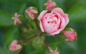 До бутонизации розам необходимы все основные минеральные вещества, в дальнейшем азот следует исключить.