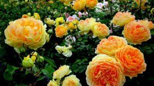 Костную муку под розы вносят весной, после полного прогрева почвы, или ранним летом.