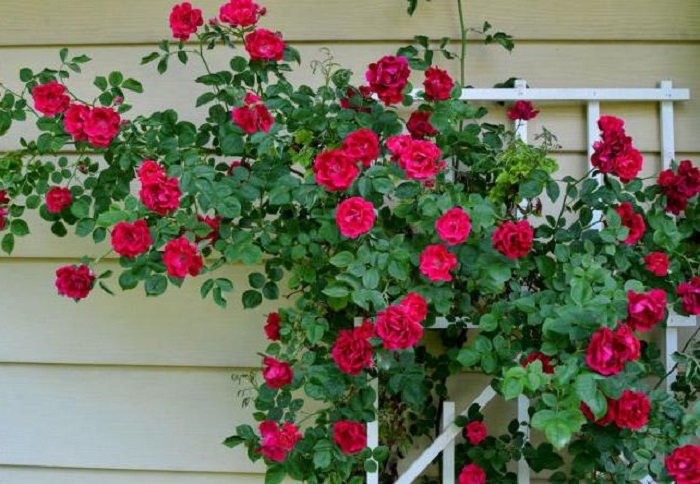 Сочетание правильной агротехники и подбора подходящих сортов позволяет успешно выращивать розы в Ленинградской области.