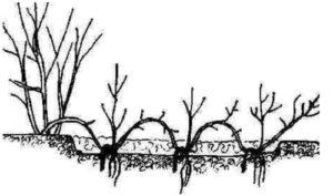 Саженцы, полученные из отводков, быстро приживаются и идут в рост.