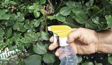 Использование молочной сыворотки для роз